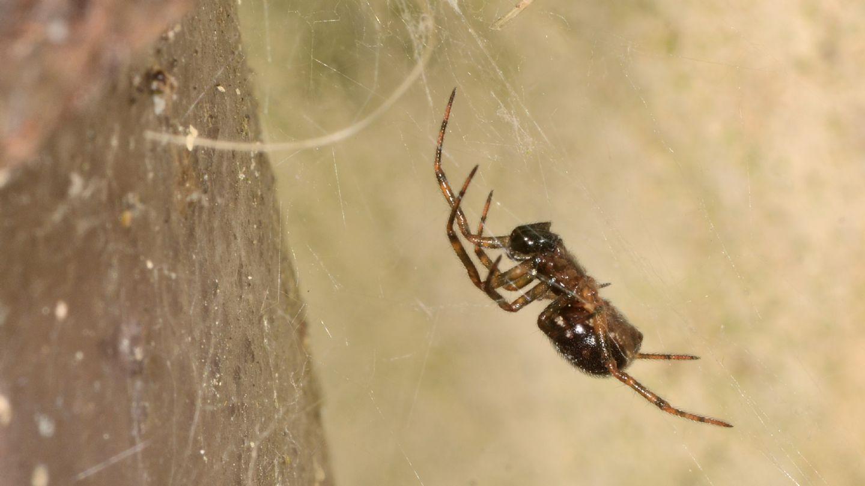 Steatoda bipunctata, maschio subadulto -  Bannio Anzino (VCO)