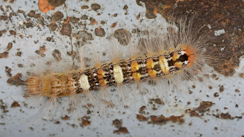 larva di ... Moma alpium - Noctuidae