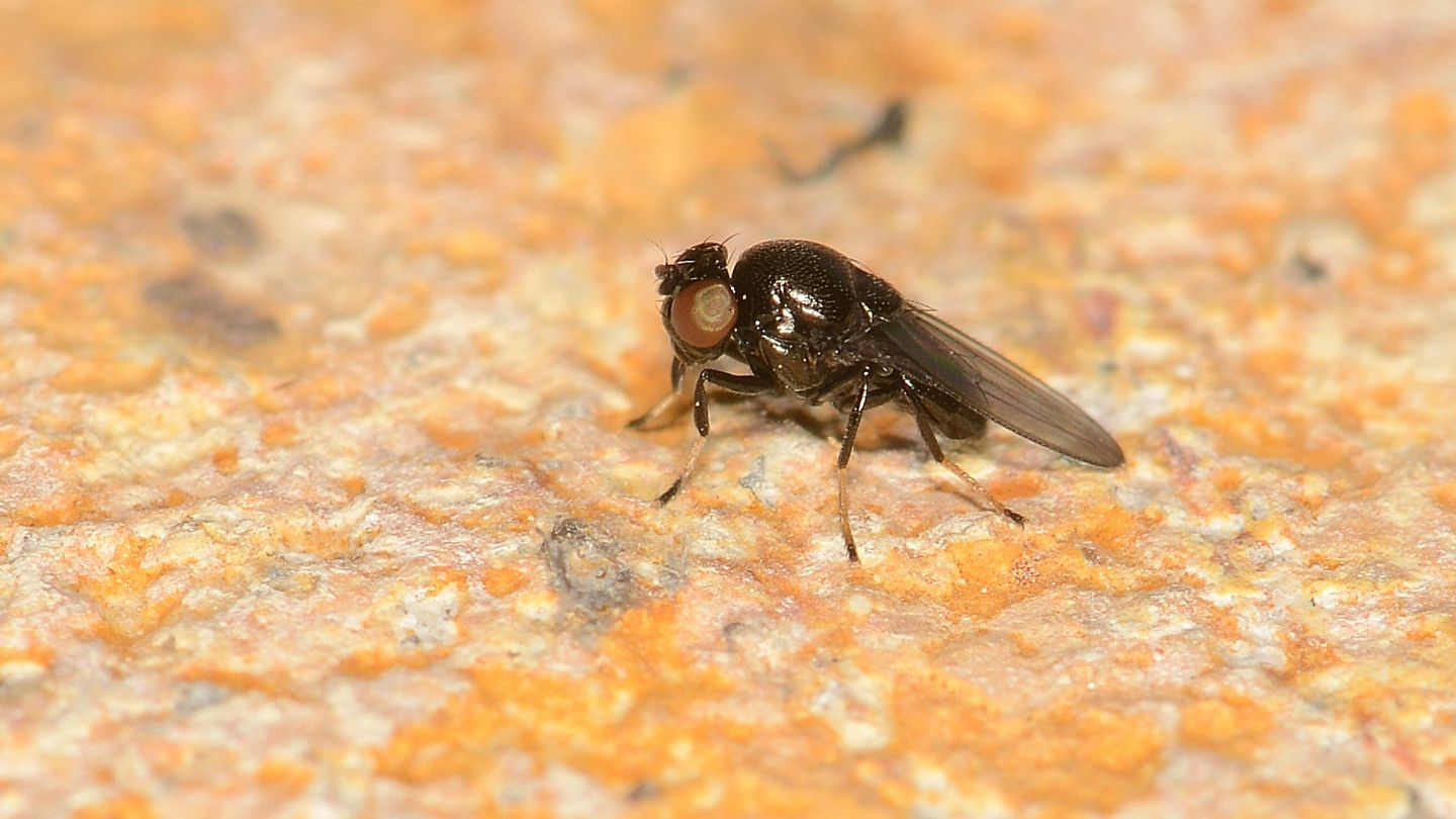 Drosophilidae ?