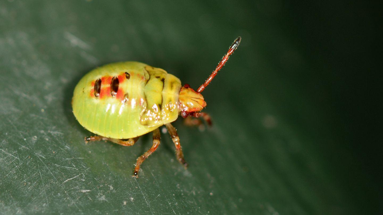 Ninfa di ...Acanthosomatidae sp.