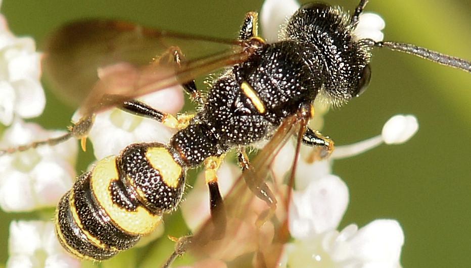 Crabronidae: maschio di Cerceris aff. hortivaga