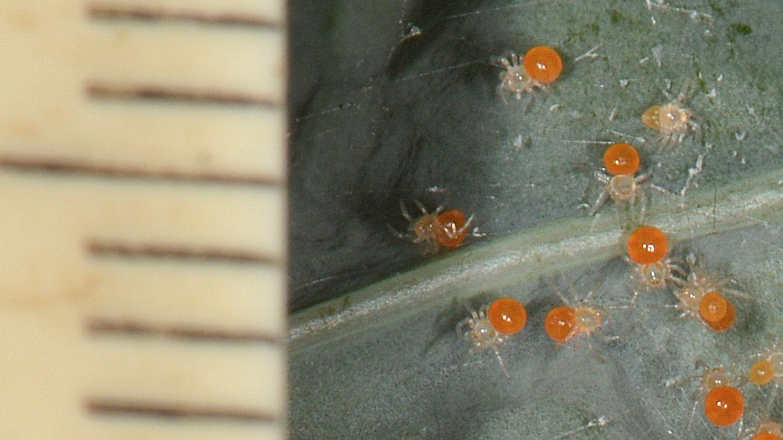 Theridula gonygaster con ovissacco e sling - Bannio Anzino (VCO)