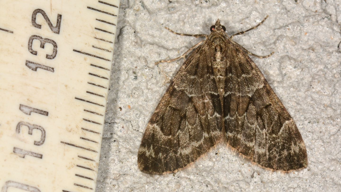 Thera sp. - Geometridae