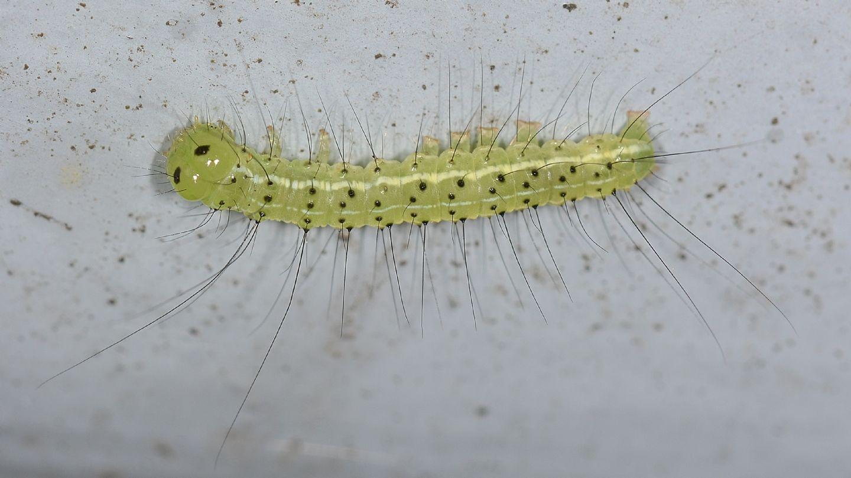 Larva ''puntinata'': Craniophora ligustri - Noctuidae