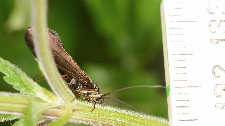 Sericostoma sp. (Sericostomatidae), maschio