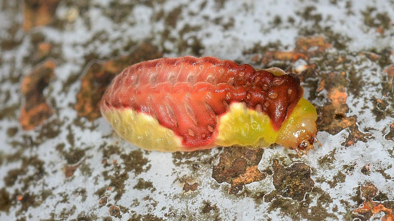 Larva di Limacodidae: Heterogenea asella