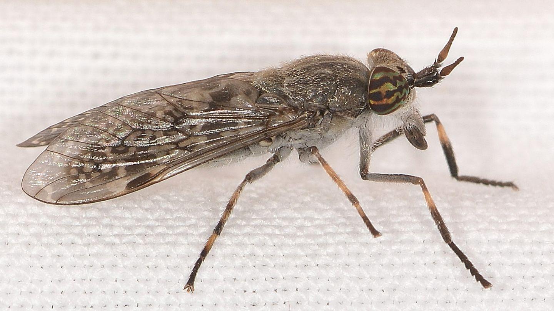Tabanidae: Haematopota pluvialis