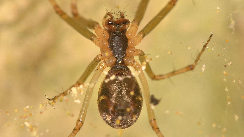 Linyphia triangularis - Bannio Anzino (VCO)