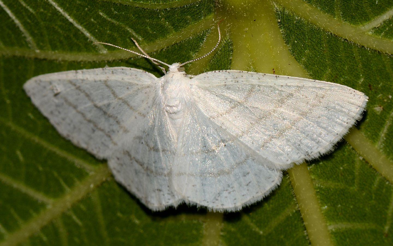 Larvetta verde:  Cabera pusaria - Geometridae