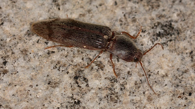 Elateridae: Stenagostus rhombeus