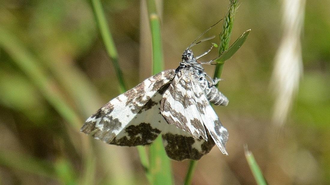 Rheumaptera hastata - Geometridae