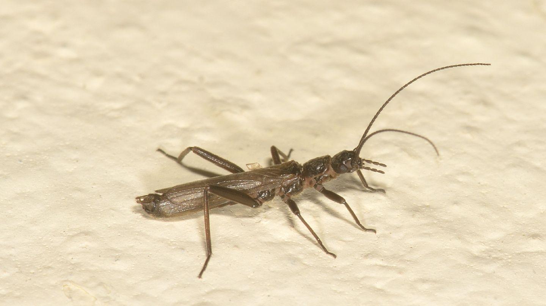 Plecoptera da id - Leuctra sp.