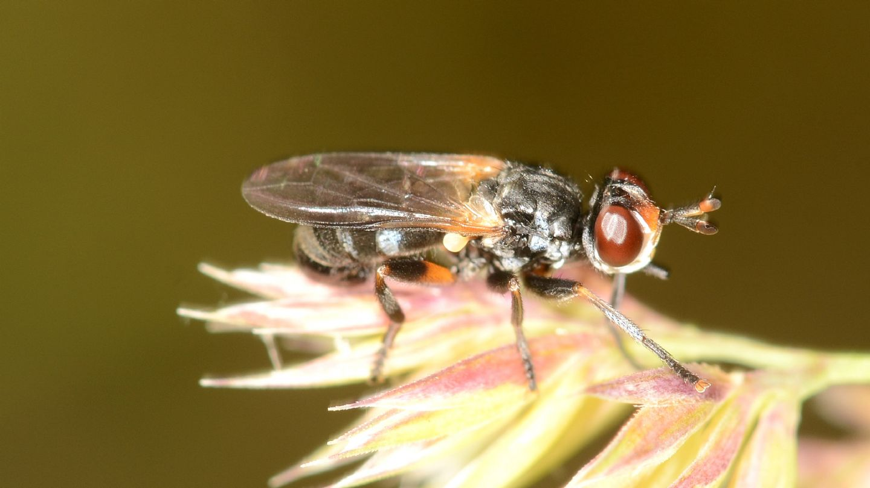 Conopidae: Thecophora sp.