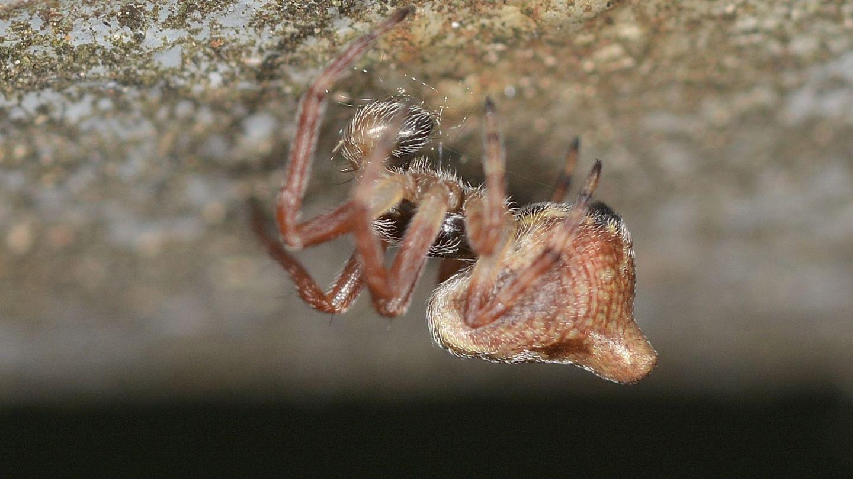 Quale Cyclosa ? Cyclosa sp., maschio subadulto - Bannio Anzino (VCO)