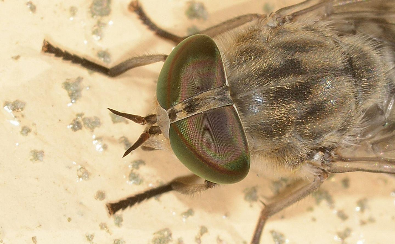 Tabanidae: Tabanus cfr. bromius, femmina