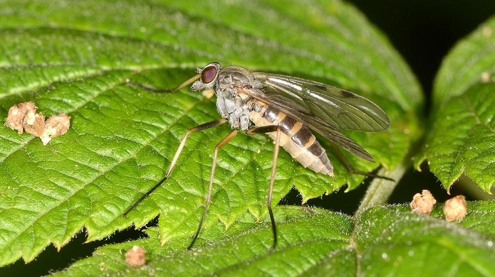 Rhagionidae: Rhagio maculatus