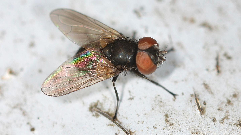 Tachinidae: Phasia cfr. barbifrons