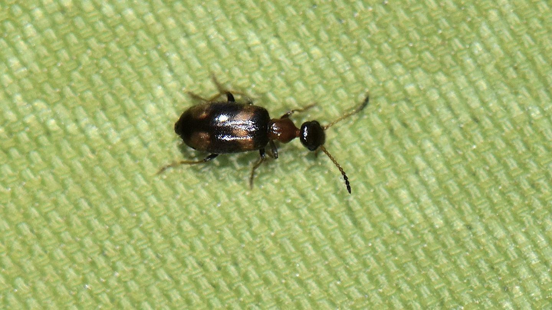 Anthicidae: Microhoria terminata