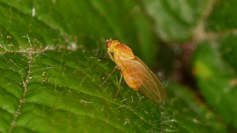 Lauxaniidae: Sapromyza sp.