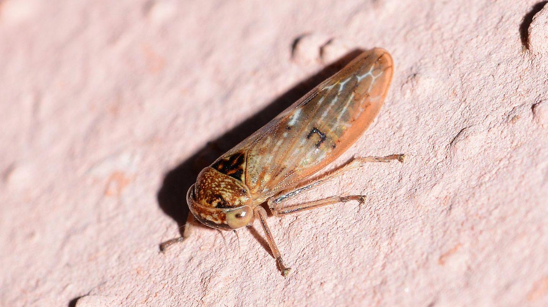 Cicadellidae: Rhytidodus decimusquartus