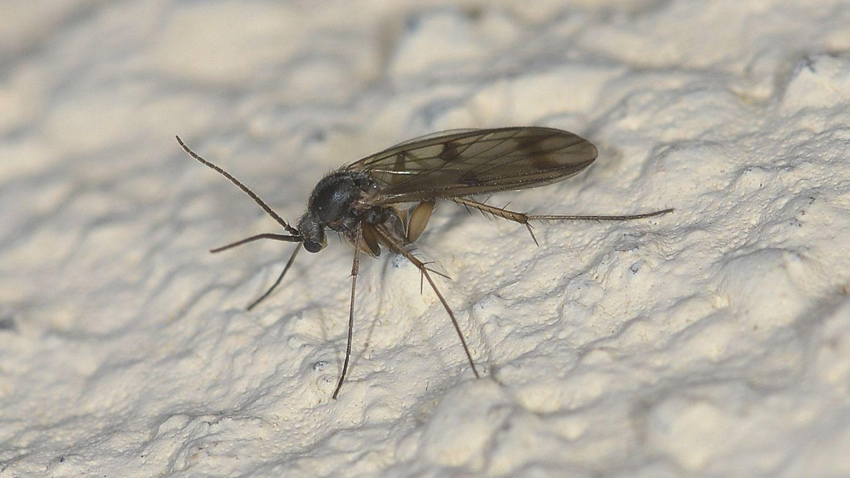 ''tante spine''...Mycetophilidae: cfr. Mycetophila sp.