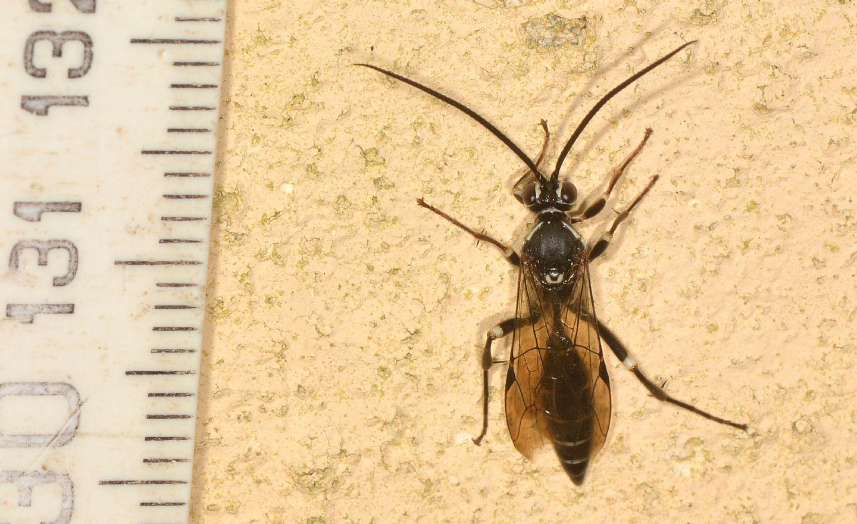 Ichneumonidae nero e bianco