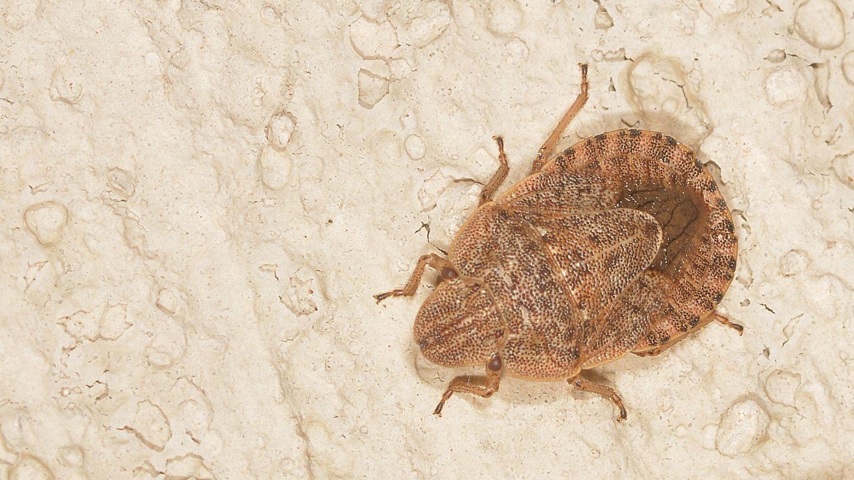 Che specie ?   Sciocoris cfr. homalonotus (Pentatomidae)