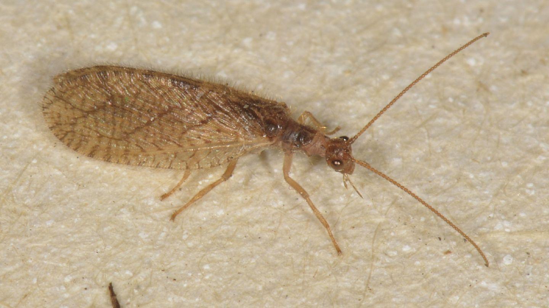 Hemerobiidae da id