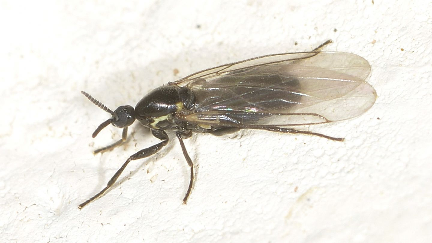Scatopsidae  ?  Sì, Scatopse cfr. notata