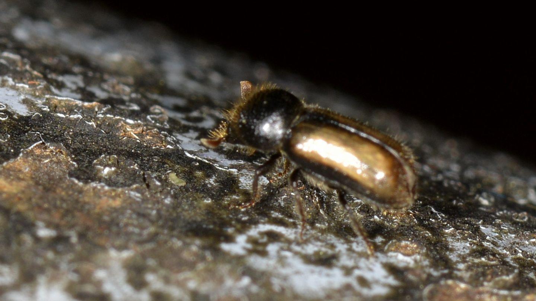 Scolitidae: Xiloterus aff. domesticus