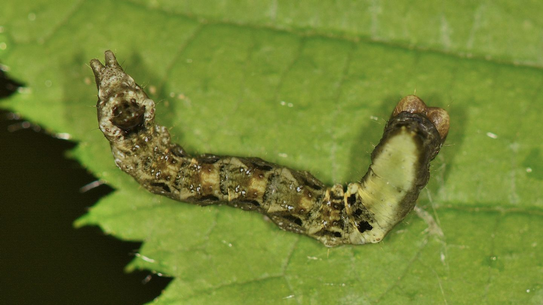 Thyatira batis - Drepanidae