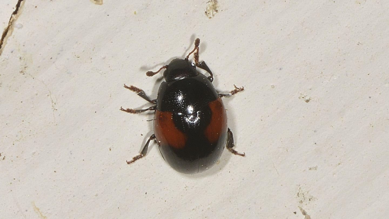 dubbio Coccinellidae: no, Erotylidae: Tritoma bipustulata