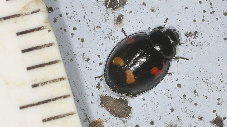 Coccinellidae: Exochomus quadripustulatus