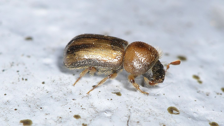 altro Scolytidae: Xyloterus sp.