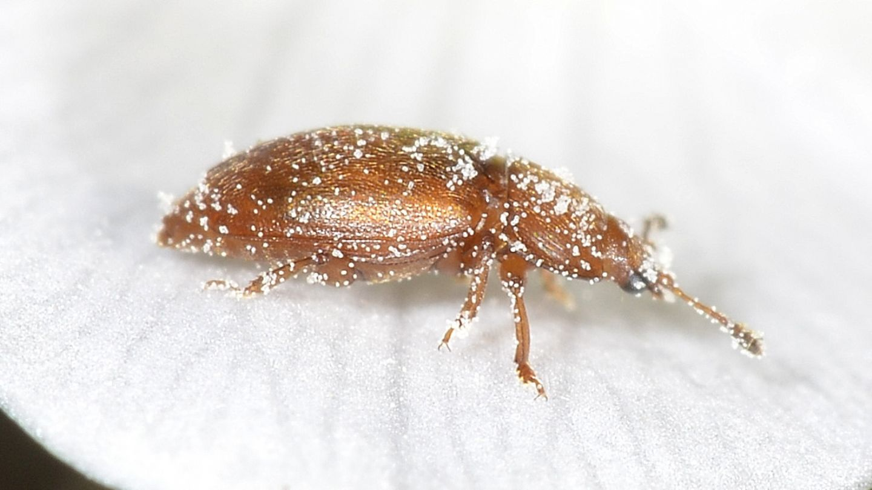 Piccoli su Anemone: Nitidulidae: Epuraea sp.