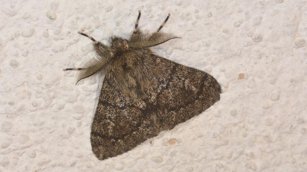 Lymantria atlantica - Erebidae Lymantriinae
