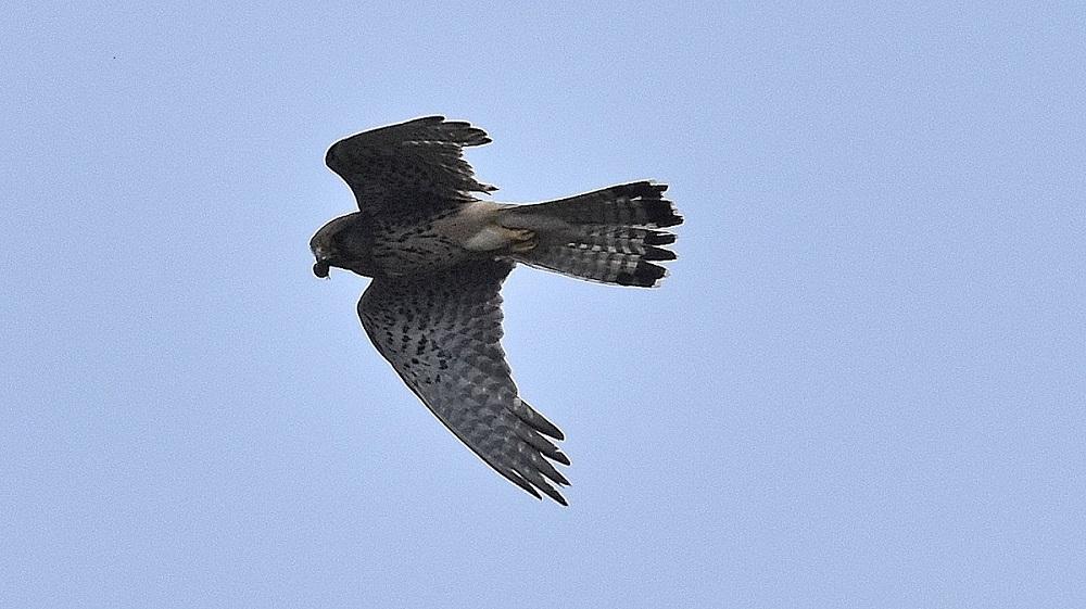Falco sull'' Isola del Giglio: Gheppio
