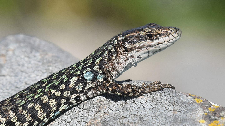 Lucertola a Capraia: Podarcis siculus campestris, maschio