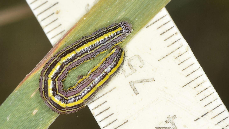 larva di Cucullia asteris ? Sì