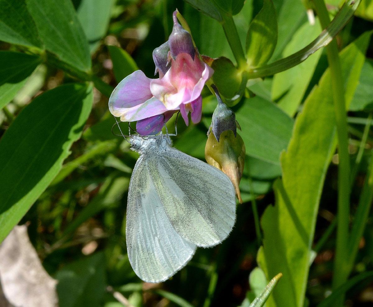 Piccola Pieridae 2 - Leptidea sinapis