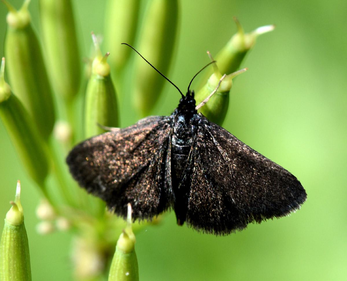 farfallina nera - Pyrausta coracinalis