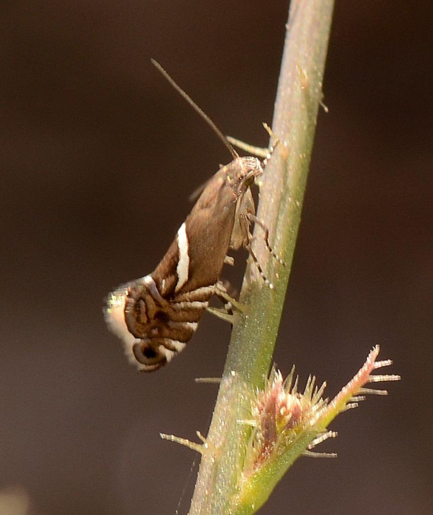 Glyphipterix sp. (Glyphipterigidae)