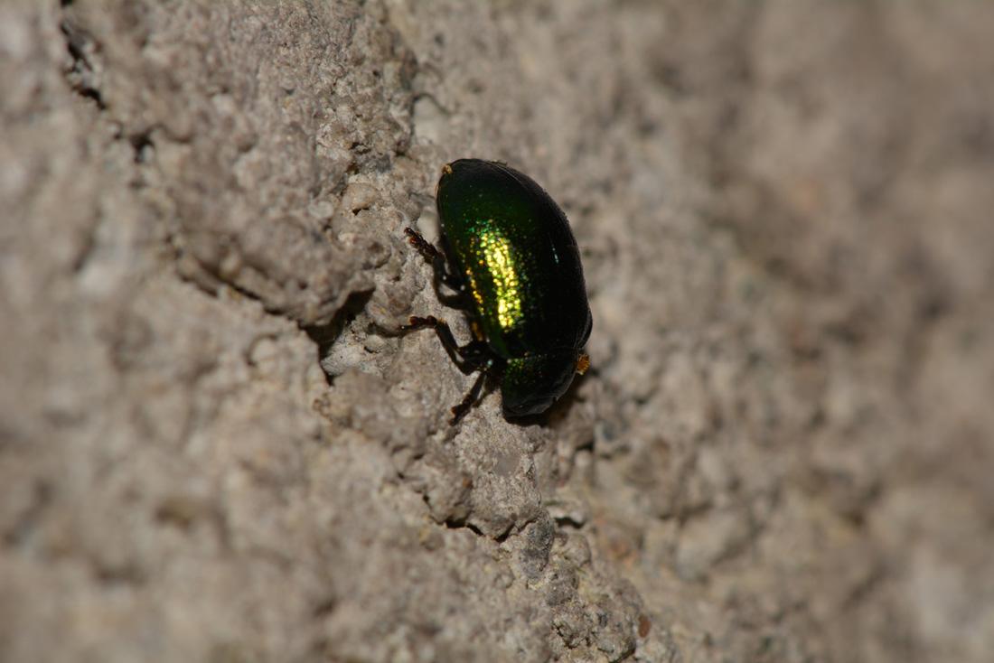 Plagiosterna (= Linaeidea) aenea (Chrysomelidae)