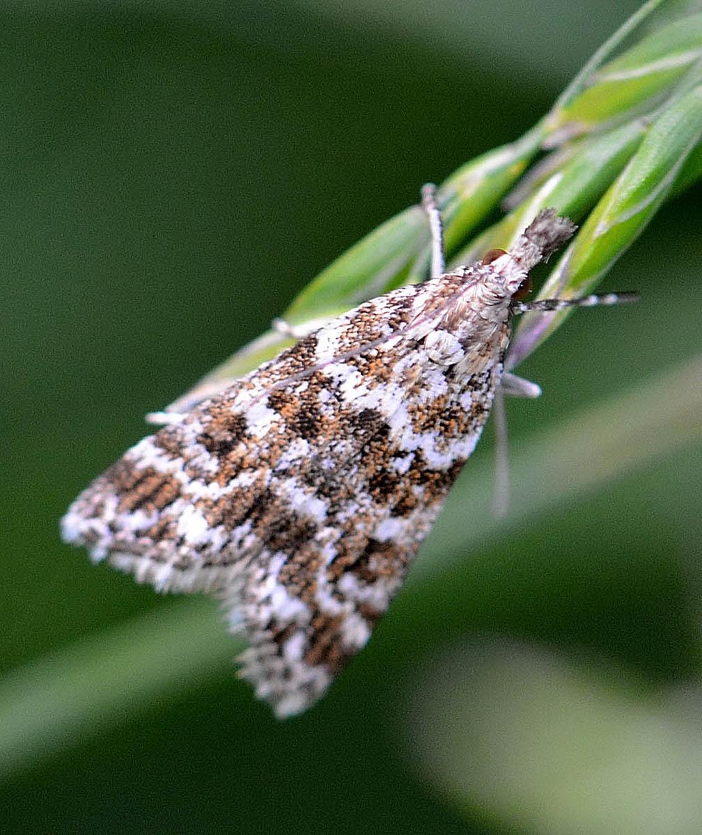 Tortricidae? No, Crambidae: Eudonia sudetica
