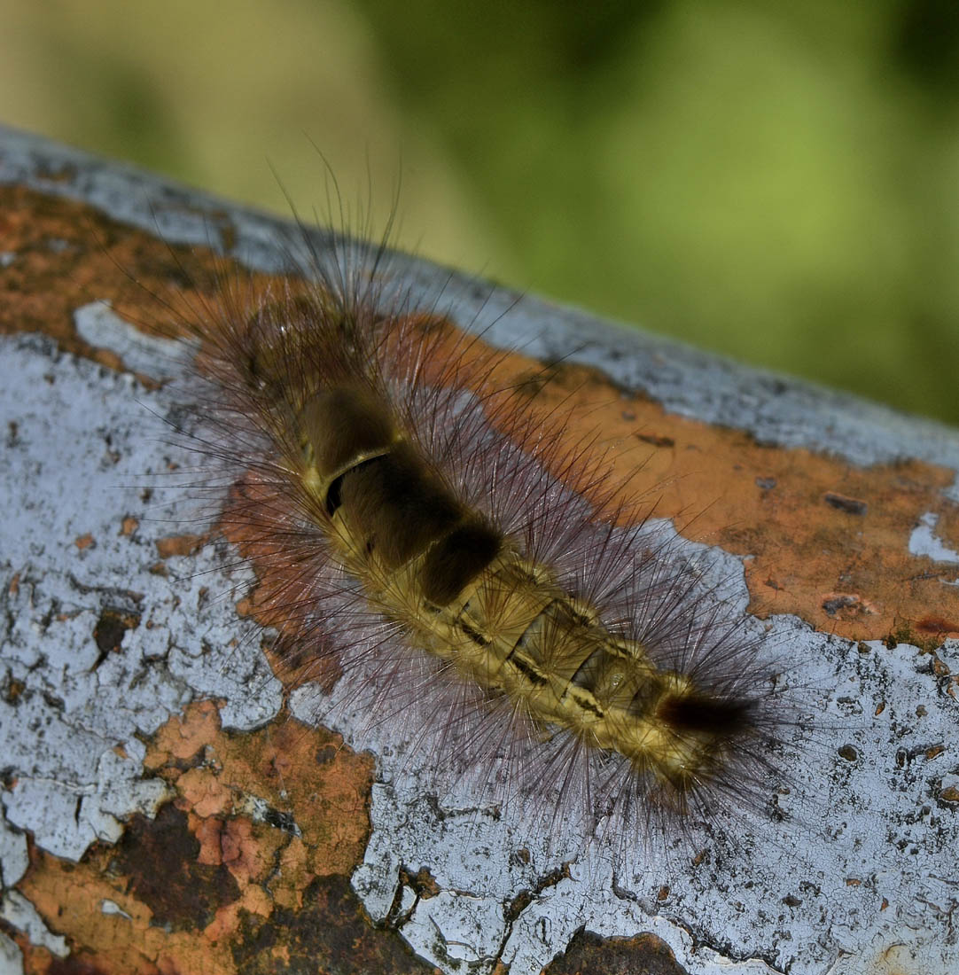Bella larva di ? Calliteara pudibunda - Erebidae Lymantriinae