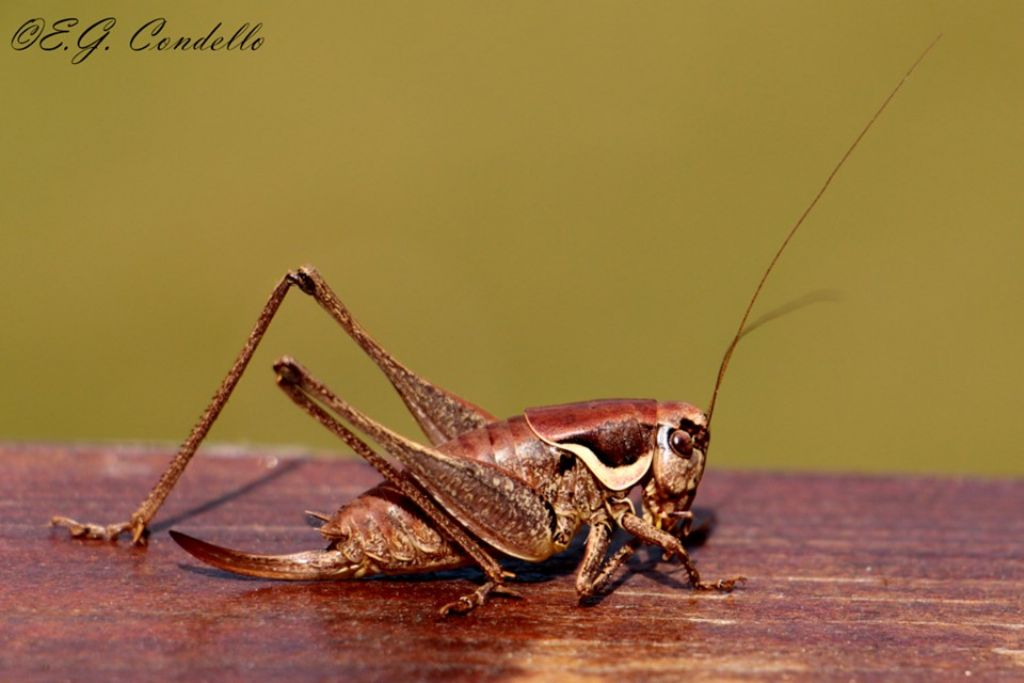 Pholidoptera fallax? Sì !