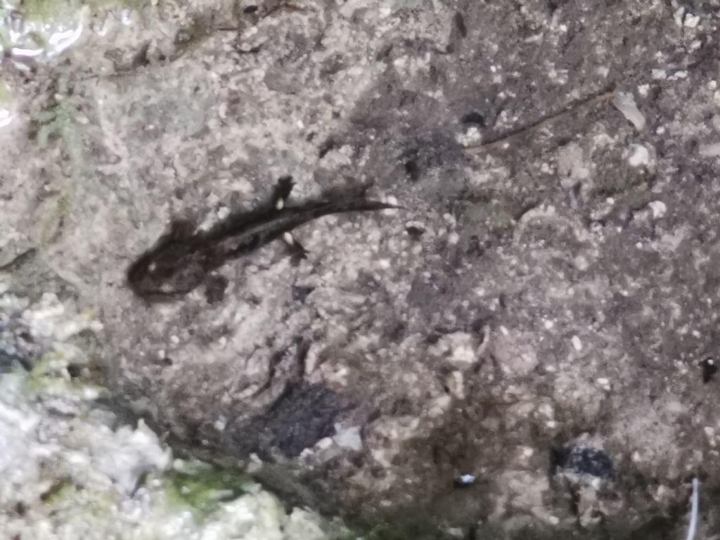 Larva di salamandra o tritone? di Salamandra salamandra
