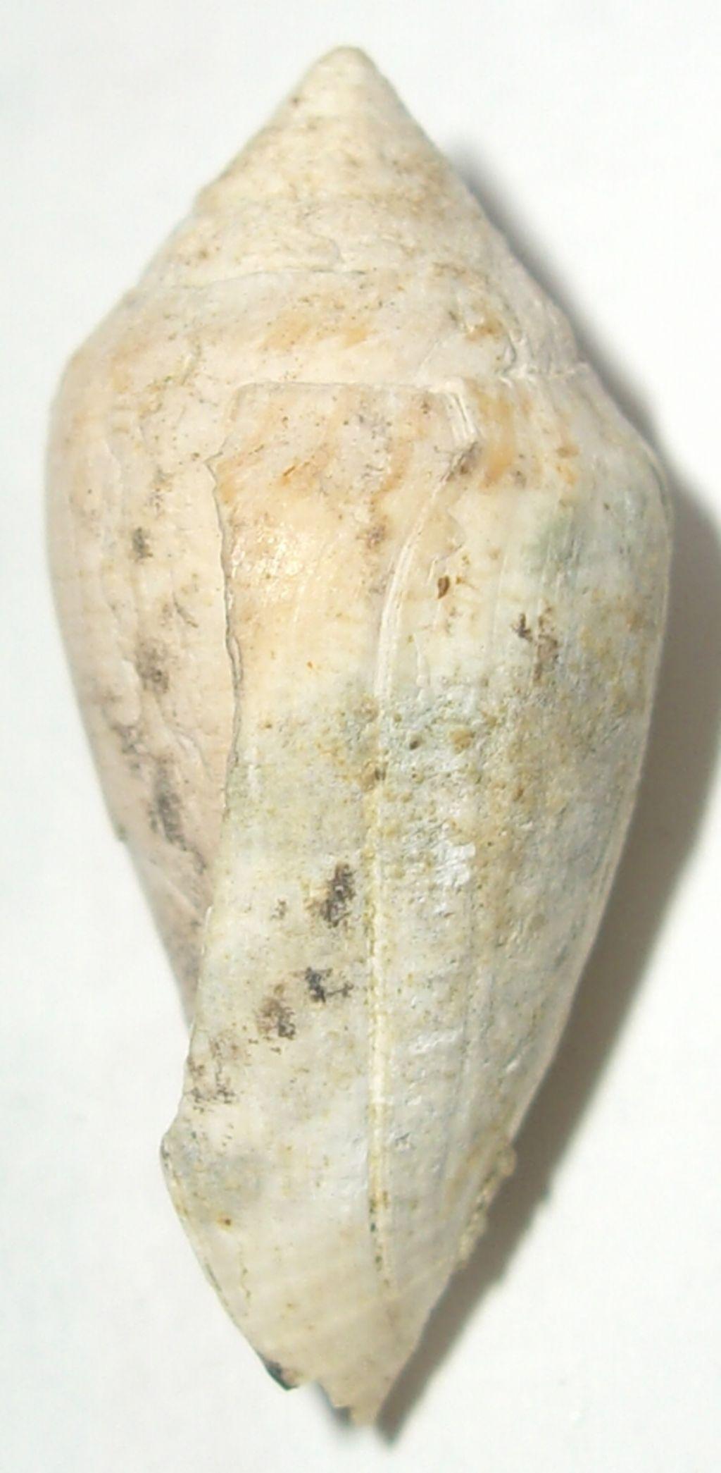 Conus desidiosus (Adams, 1854)