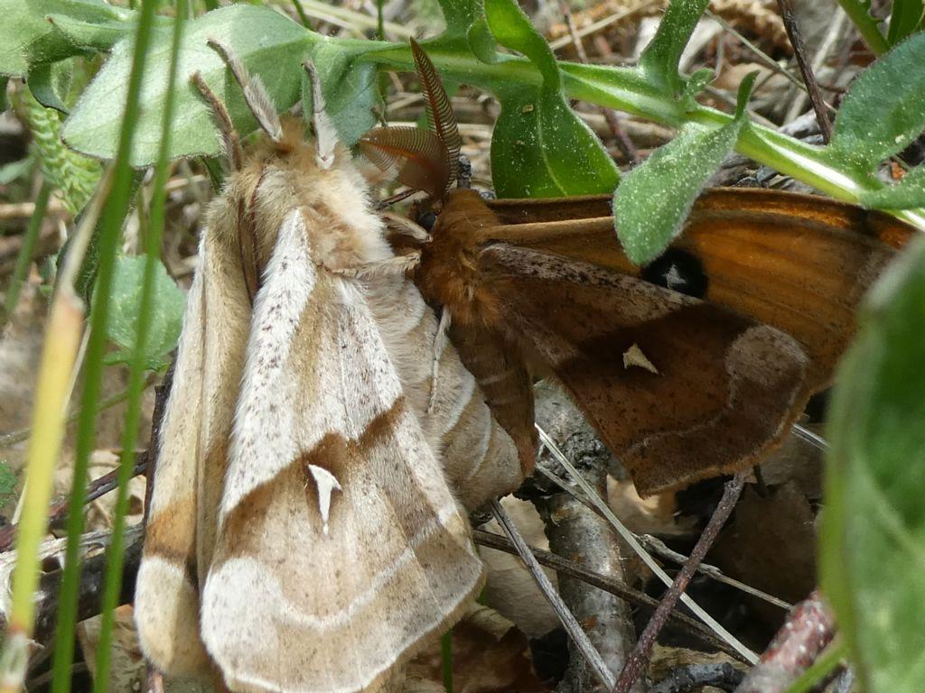 Coppia di lepidotteri: Aglia tau, Saturniidae