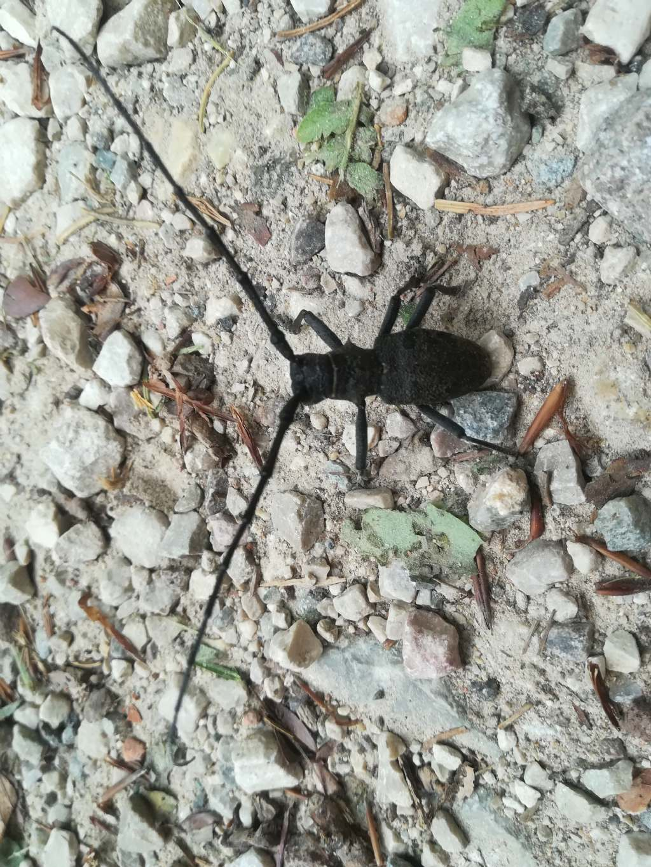 Cerambycidae: Morimus asper, maschio
